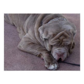 Big Dog Sleeping on a Street Poster