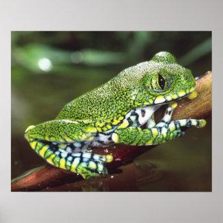 Big Eye Treefrog, Leptopelis vermiculatus, Poster