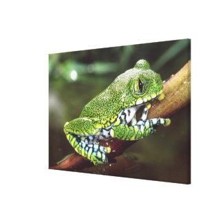 Big Eye Treefrog, Leptopelis vermiculatus, Stretched Canvas Print