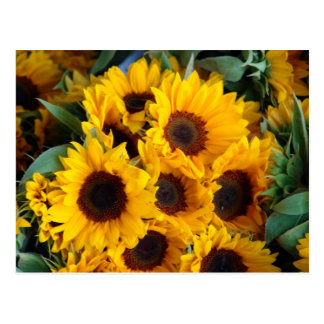 Big giant sunflowers postcard