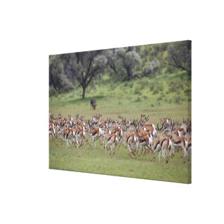 big herd of Springbock, Antidorcas marsupialis, Canvas Print