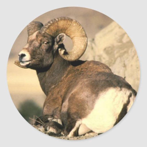 Big Horn Ram, Part of the American Mammal Series Stickers