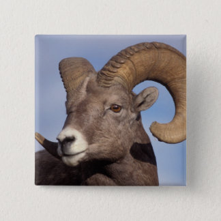 big horn sheep, mountain sheep, Ovis canadensis, 15 Cm Square Badge