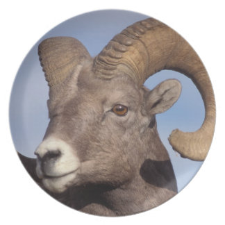 big horn sheep, mountain sheep, Ovis canadensis, Plate