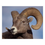big horn sheep, mountain sheep, Ovis canadensis, Posters