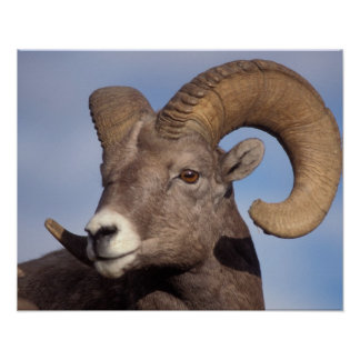 big horn sheep, mountain sheep, Ovis canadensis, Poster