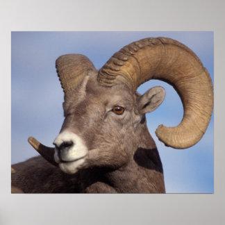 big horn sheep, mountain sheep, Ovis canadensis, Poster