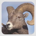 big horn sheep, mountain sheep, Ovis canadensis, Square Stickers