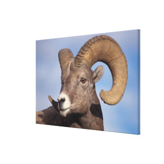 big horn sheep, mountain sheep, Ovis canadensis, Stretched Canvas Print