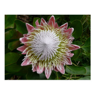Big Pink and White Flower Postcard