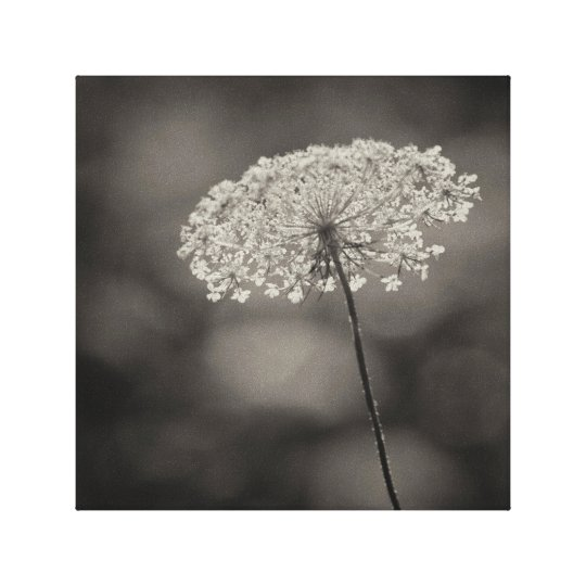 Big Queen Anne's Lace Flower Soft Background Sepia
