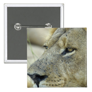 Big Red is a magnificent male Lion 15 Cm Square Badge
