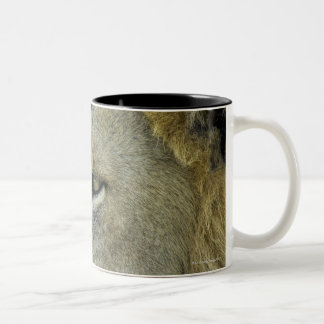 Big Red is a magnificent male Lion residing in Two-Tone Mug