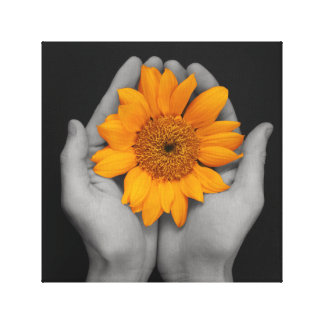 Big sunflower cupped in hands, black background stretched canvas print