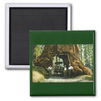 Big Tree Wawona, Mariposa Grove, CA Vintage Square Magnet