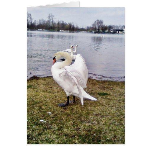 Big White Swan Stretching Wings Card