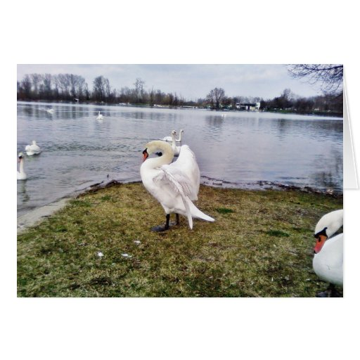 Big White Swan Stretching Wings Greeting Cards