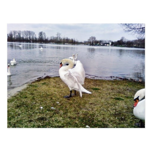 Big White Swan Stretching Wings Postcards