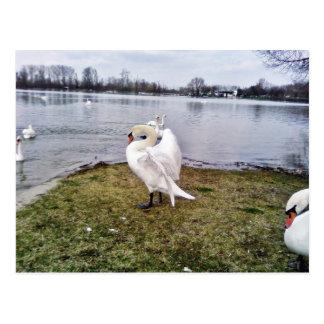 Big White Swan Stretching Wings Postcard