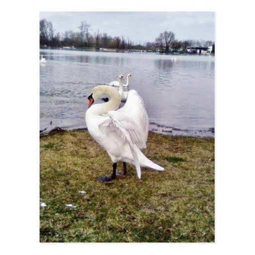 Big White Swan Stretching Wings Post Cards