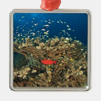 Bigeye hiding under hard coral, Kadola Island, Christmas Ornament