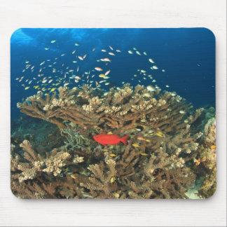 Bigeye hiding under hard coral, Kadola Island, Mouse Mat