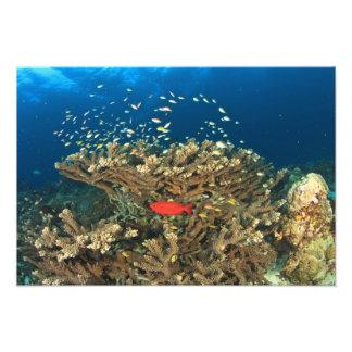 Bigeye hiding under hard coral, Kadola Island, Photo Art