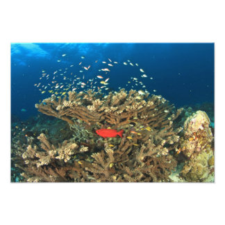 Bigeye hiding under hard coral, Kadola Island, Photo Print