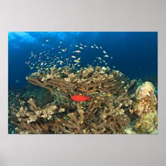 Bigeye hiding under hard coral, Kadola Island, Poster