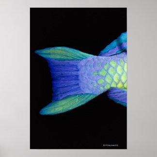 Bigeye Priacanthus hamrur, close-up of tail Poster