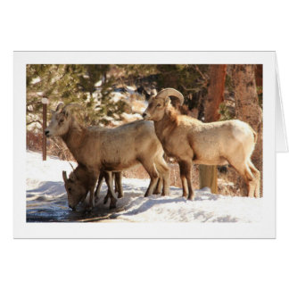 Bighorn Sheep notecard