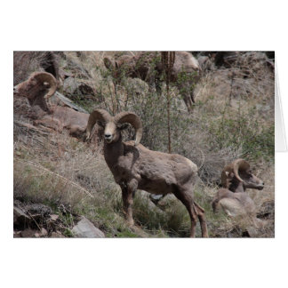 Bighorn Sheep notecards Card