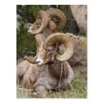 Bighorn Sheep Postcard