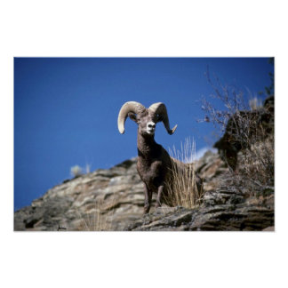 Bighorn sheep (Ram alert on face of mountain cliff Poster