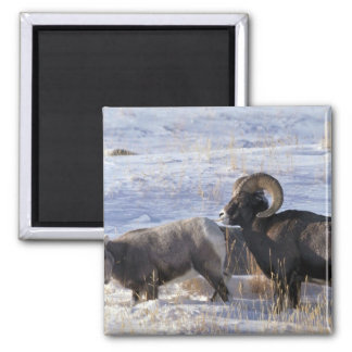 Bighorn sheep (Ram and Ewe show mating behaviour) Magnets