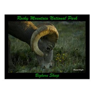 Bighorn Sheep, Trailridge Road Postcard