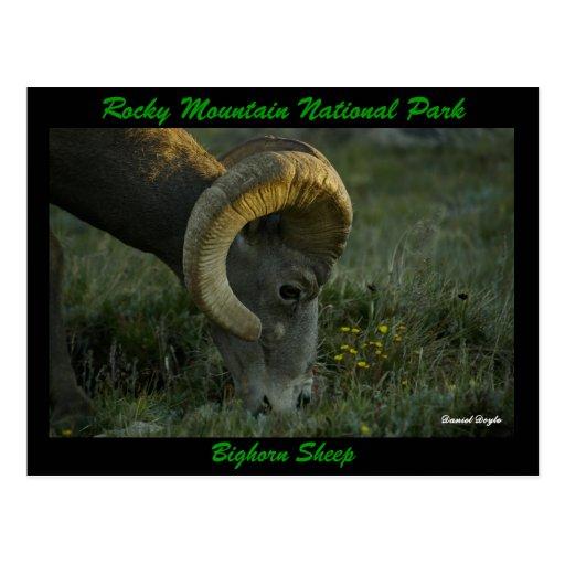 Bighorn Sheep, Trailridge Road Postcards