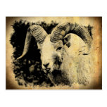Bighorn Sheep with Attitude Postcard