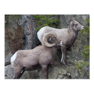 Bighorn Sheeps Postcard