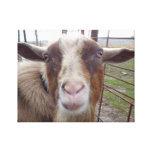 Billy Goat Barnyard Farm Animal Stretched Canvas Print