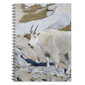 Billy goat, in Upper Enchantments Notebooks