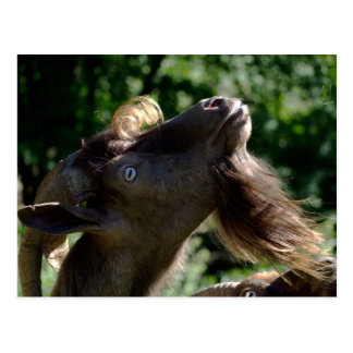 Billy Goat Postcards