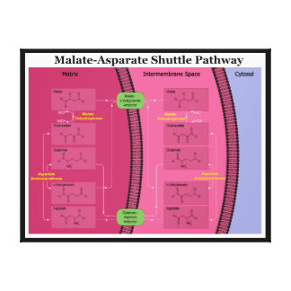 Biochemical Malate Aspartate Shuttle Diagram Gallery Wrapped Canvas