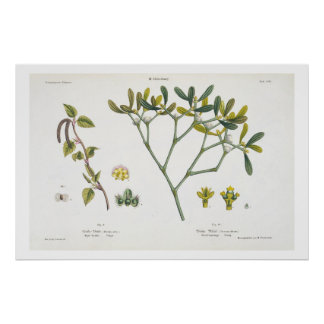 Birch (left) and Mistletoe (right), fig. 9 and 10 Poster