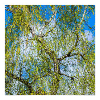 Birch tree - Spring is in the air Photo Print