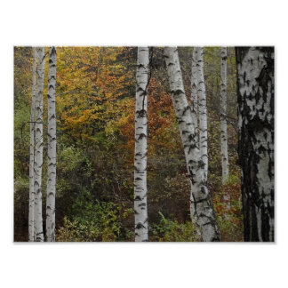 Birch Trees Autumn Photo Value Poster Paper