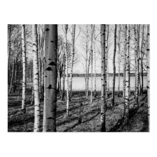 Birch trees forest by a lake in Finland Postcard