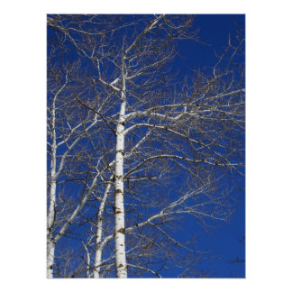 Birch Trees in Blue Poster