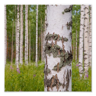 birch trees in Finnish forests Poster