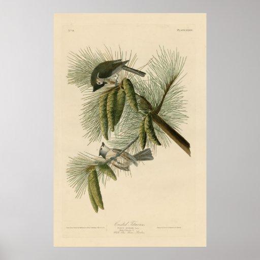 Bird, America, Crested Titmouse, Audubon, Vintage Poster